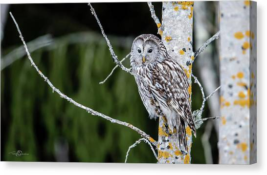 Ural Owl Perching On An Aspen Twig Canvas Print