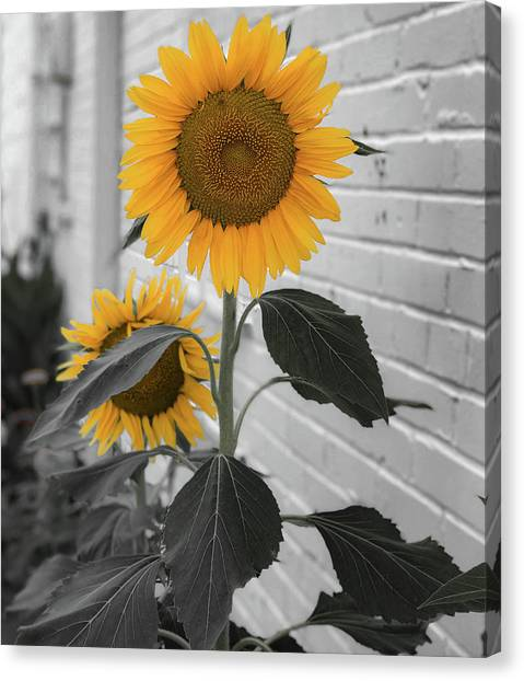 Urban Sunflower - Black And White Canvas Print
