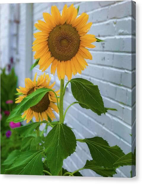 Urban Sunflower Canvas Print