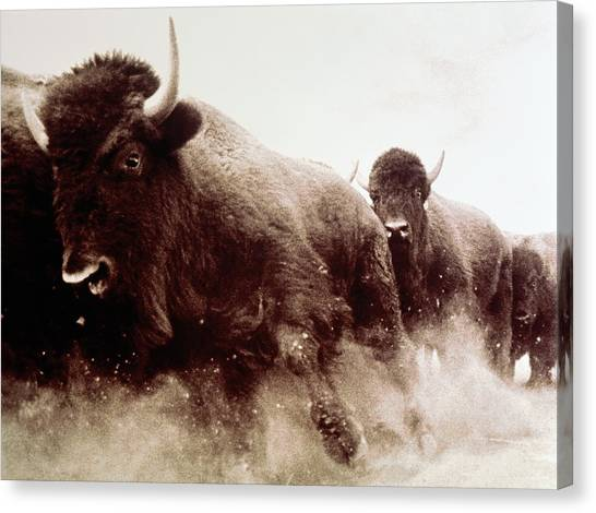 Usa, Colorado, Herd Of American Bison Canvas Print