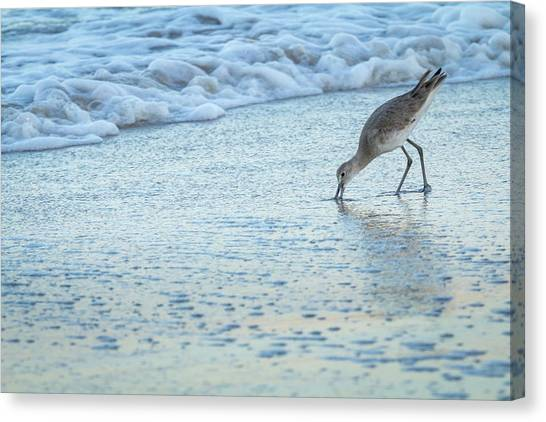 Usa, Florida A Willet Digs In The Sand Canvas Print by Margaret Gaines