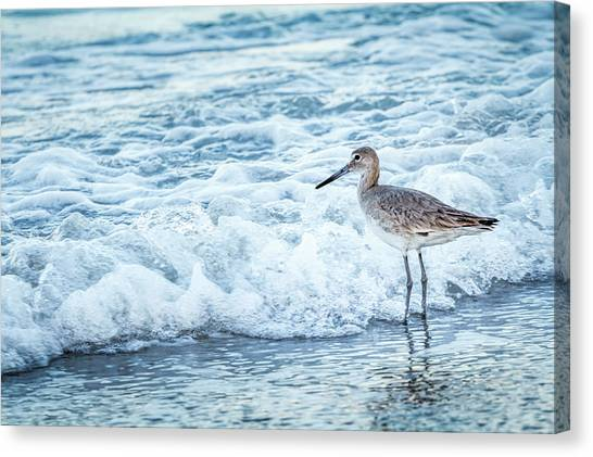 Usa, Florida A Willet, Tringa Canvas Print by Margaret Gaines