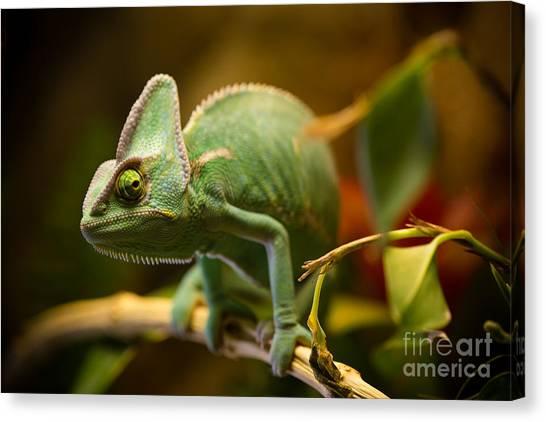 Change Canvas Print - Veiled Chameleon Chamaeleo Calyptratus by Lukas Gojda
