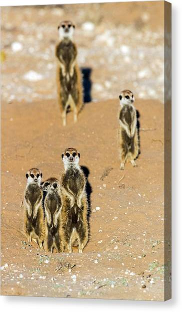 Canvas Print - View Of Standing Meerkats Suricata by Panoramic Images