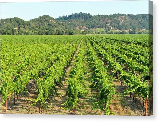 Sonoma Valley Canvas Print - Vineyard by Pchoui