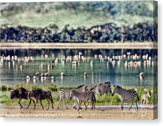 Delta Canvas Print - Vintage Style Image Of Zebras And by Travel Stock