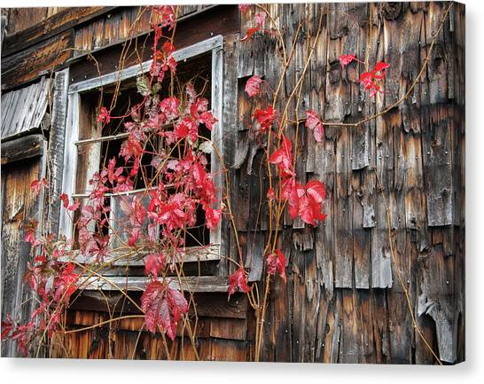 Virginia Creeper Canvas Print