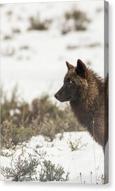 Canvas Print featuring the photograph W11 by Joshua Able's Wildlife