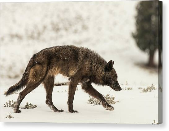 Canvas Print featuring the photograph W13 by Joshua Able's Wildlife