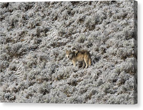 Canvas Print featuring the photograph W17 by Joshua Able's Wildlife