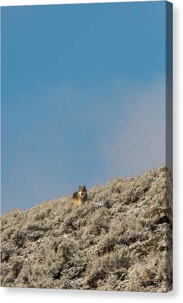 Canvas Print featuring the photograph W24 by Joshua Able's Wildlife