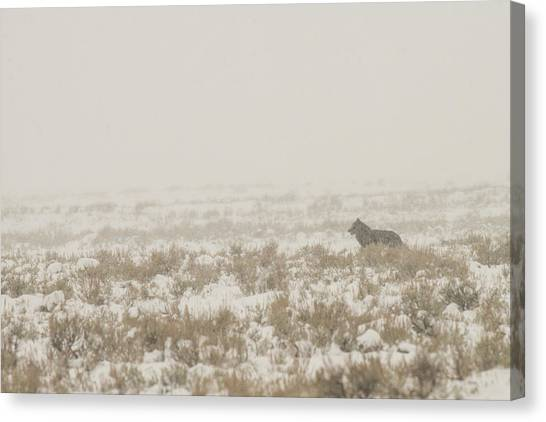 Canvas Print featuring the photograph W34 by Joshua Able's Wildlife