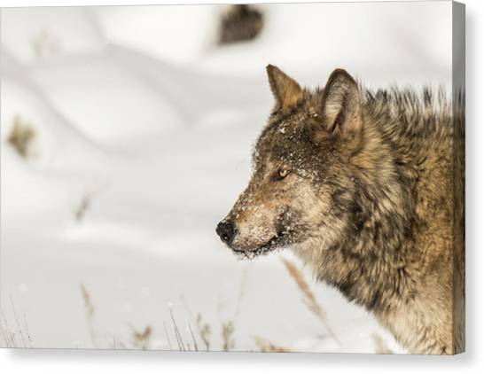 Canvas Print featuring the photograph W37 by Joshua Able's Wildlife