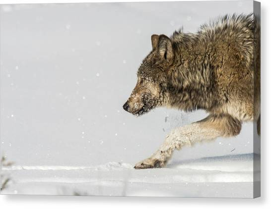 Canvas Print featuring the photograph W40 by Joshua Able's Wildlife