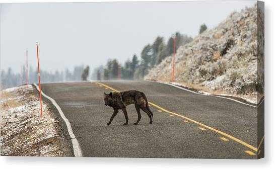 Canvas Print featuring the photograph W55 by Joshua Able's Wildlife
