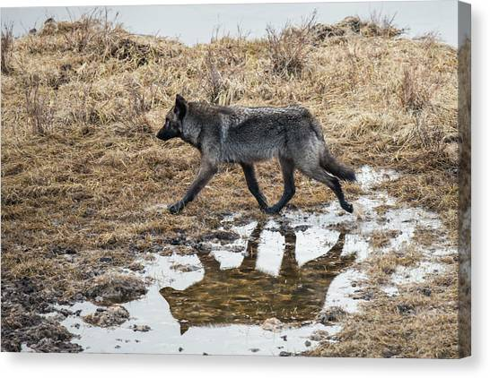 Canvas Print featuring the photograph W60 by Joshua Able's Wildlife