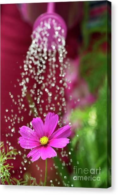 Watering A Cosmos Flower Canvas Print by Tim Gainey