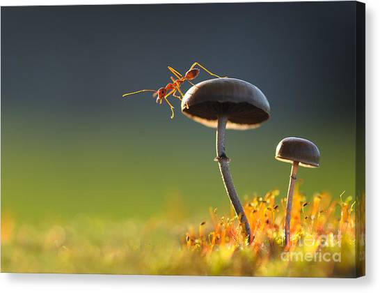 Tropical Plant Canvas Print - Weaver Ant Want To Jump From A Mushroom by Robby Fakhriannur