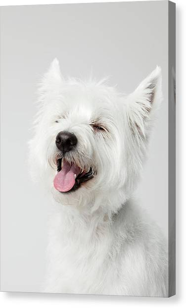Petter Canvas Print - West Highland White Terrier Laughing by Chris Stein 011721058f26