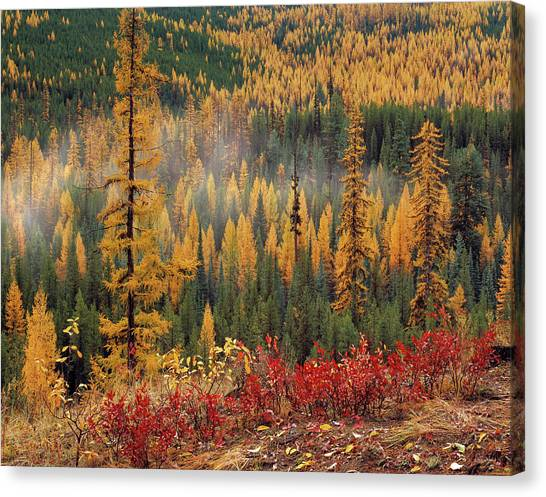 Western Larch Forest Autumn Canvas Print