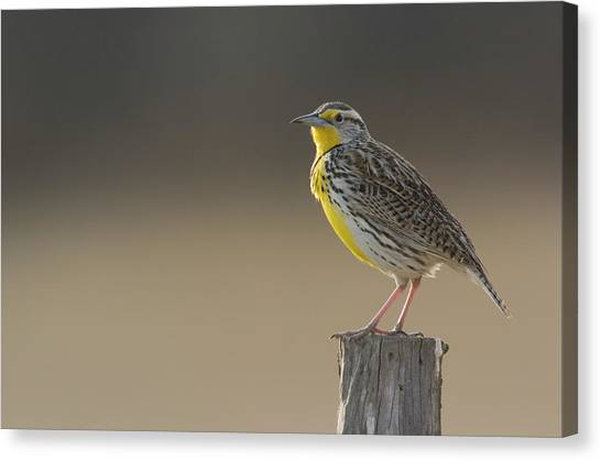 Meadowlarks Canvas Print - Western Meadowlark Sturnella Neglecta by Grambo Photography