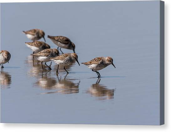 Western Sandpipers And Reflection Canvas Print