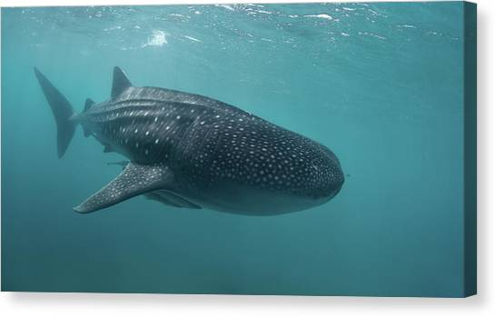 Whale Shark Canvas Print by Nature, Underwater And Art Photos. Www.narchuk.com