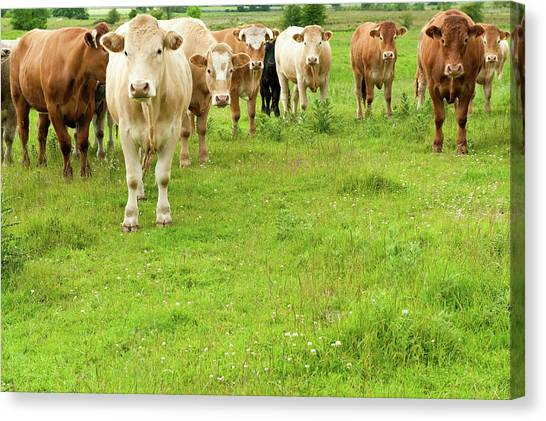 What Are You Looking At Staring Steers Canvas Print