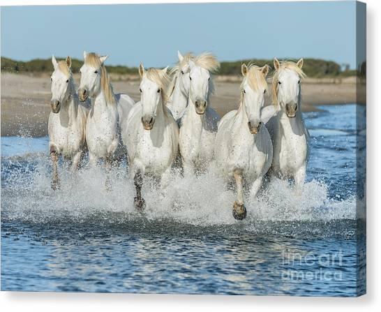 Delta Canvas Print - White Camargue Horses Galloping Along by Vadim Petrakov