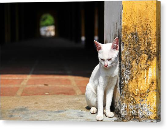Purebred Canvas Print - White Cat Resting Outside by Stephen Chung