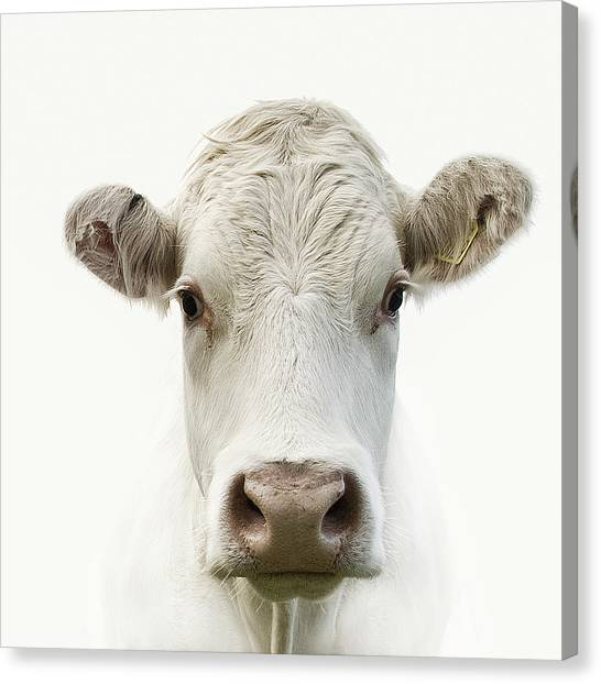 White Cow Canvas Print