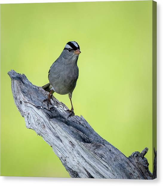 White Crowned Sparrow 1 Canvas Print
