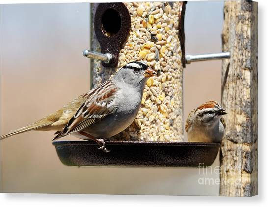 Sunflower Seeds Canvas Print - White-crowned Sparrow, Zonotrichia by Sylvie Bouchard
