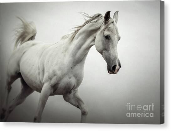 Canvas Print featuring the photograph White Horse On The White Background Equestrian Beauty by Dimitar Hristov