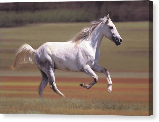 White Horse Running In Field Canvas Print by Comstock