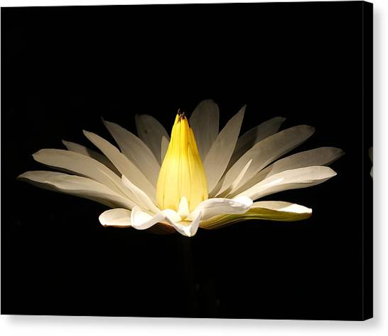 White Lily At Night Canvas Print