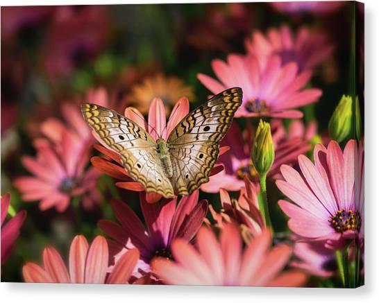 Anartia Jatrophae Canvas Print - White Peacock Butterfly On Pink Daisies  by Saija Lehtonen