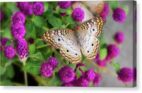 Anartia Jatrophae Canvas Print - White Peacock Butterfly On Pink Flowers   by Saija Lehtonen