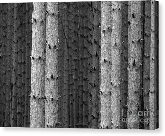 White Pines Black And White Canvas Print