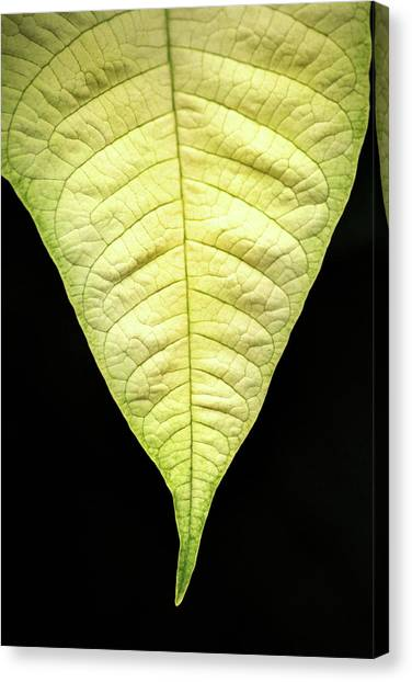 White Poinsettia Leaf Canvas Print