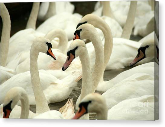 Swan Canvas Print - White Swans On A Canal In Stratford by Paul Banton