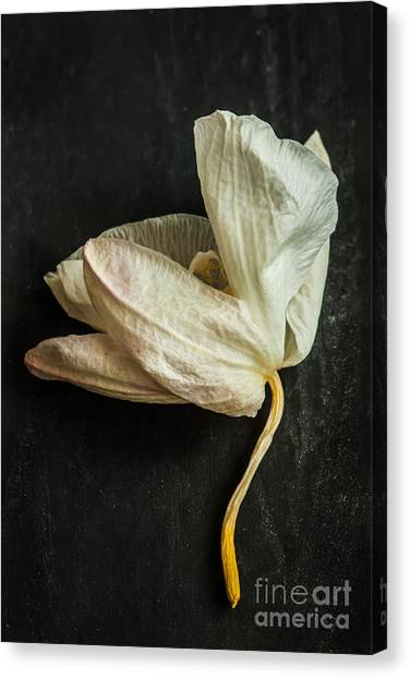 Nature Still Life Canvas Print - White Withered Orchid Close Up Macro On by Pinkyone