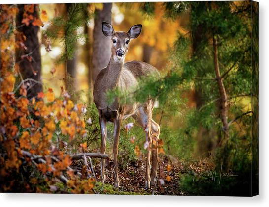 Whitetail 4297 Canvas Print