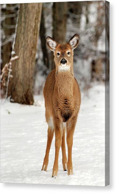 White-tailed Deer Canvas Print - Whitetail In Snow by Christina Rollo