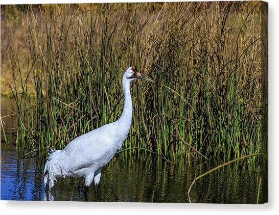 Whooping Crane In Pond Canvas Print