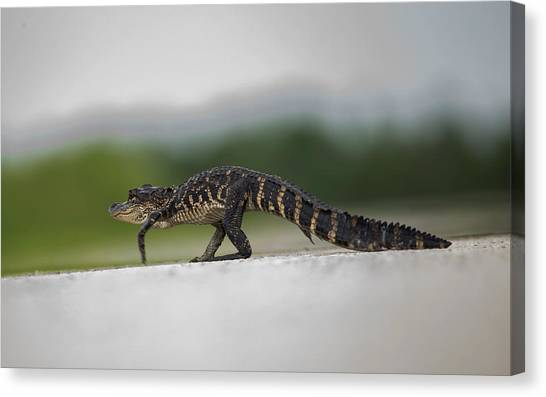 Why Did The Gator Cross The Road? Canvas Print