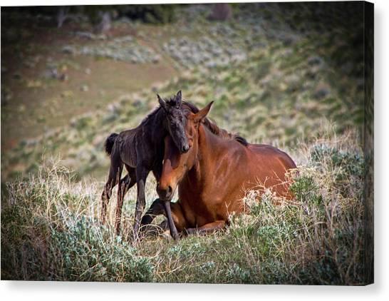 Wild Black New Born Foal And Mare Canvas Print