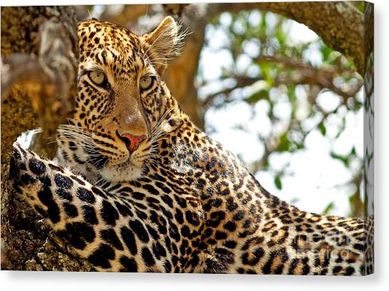 Bush Canvas Print - Wild Leopard Lying In Wait Atop A Tree by Travel Stock