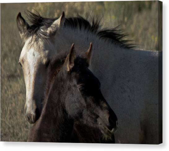 Wild Mustangs Of New Mexico 4 Canvas Print