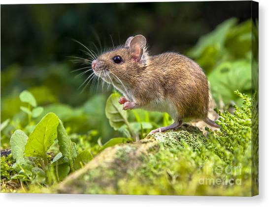 Woodland Canvas Print - Wild Wood Mouse Resting On The Root Of by Rudmer Zwerver